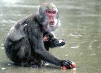 Ти ли ще си стотната маймуна? Защо не?!